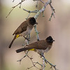 Common bulbuls