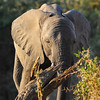 African bush elephant, our largest terrestrial mammal