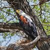 African Fish Eagle, Jongomero
