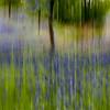 Bluebonnet blur