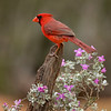 Northern Cardinal, Santa Clara Ranch,  McCook, TX