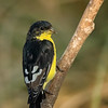 Lesser Goldfinch, Block Creek Natural Area, Hill Country, TX