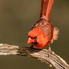 Northern Cardinal, Block Creek Natural Area, Hill Country, TX
