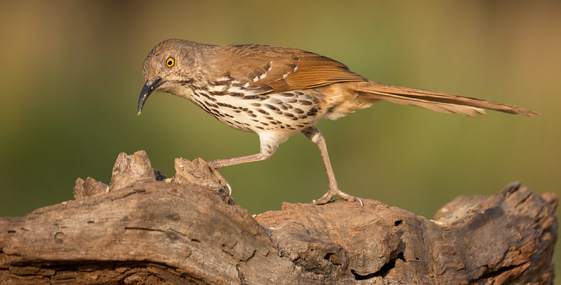 Long-billed Thrasher, Laguna Seca Ranch, Edinburg, TX