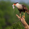 Crested Caracara, Laguna Seca Ranch, Edinburg, TX