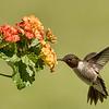Black-chinned Hummingbird, Block Creek Natural Area, Hill Country, TX