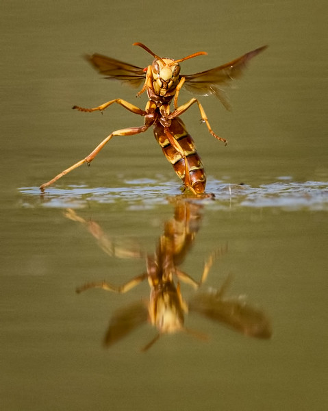 Paper Wasp (probably Polistes apachus), Santa Clara Ranch, McCook, TX