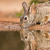 Cottontail, Santa Clara Ranch, McCook, TX