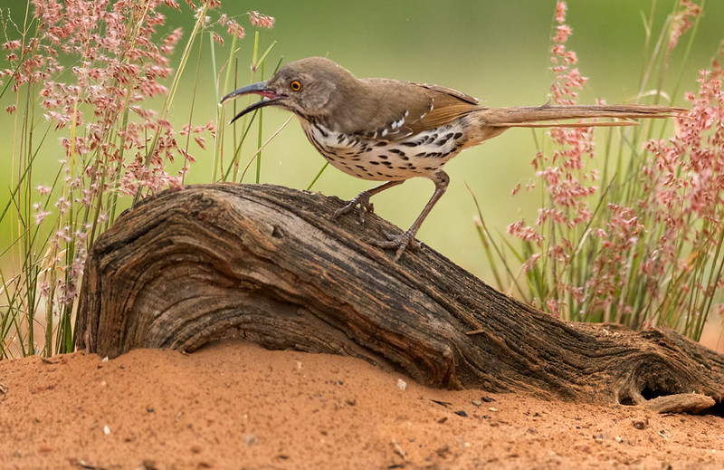 Long-billed Thrasher, Laguna Seca, Edinburg, TX
