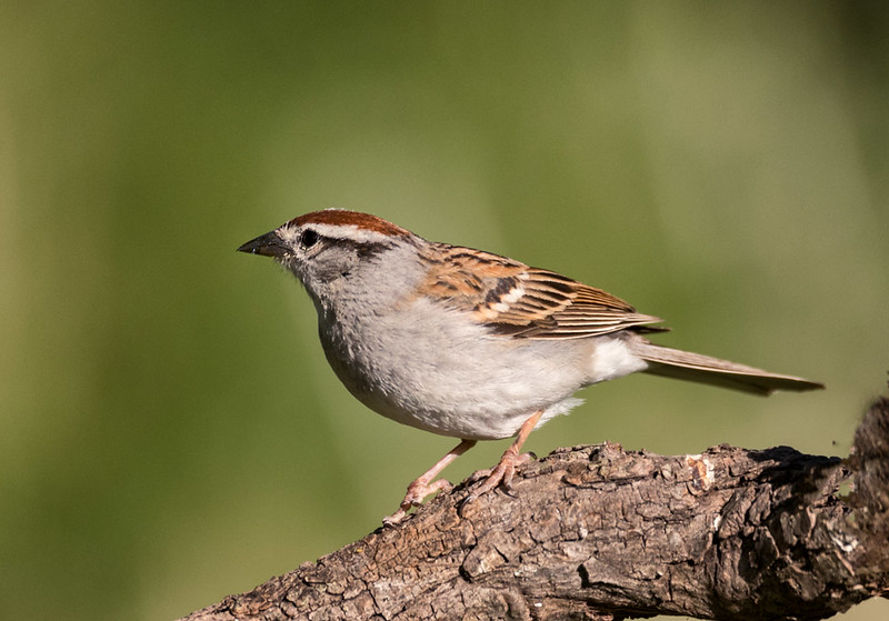 Chipping Sparrow, Block Creek Natural Area, Hill Country, TX