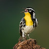 Yeloow-throated Warbler, Block Creek Natural Area, Hill Country, TX