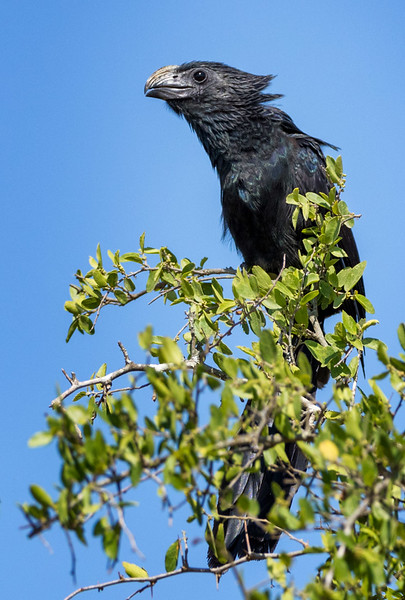 Groove-billed Ani, Santa Clara Ranch, McCook, TX