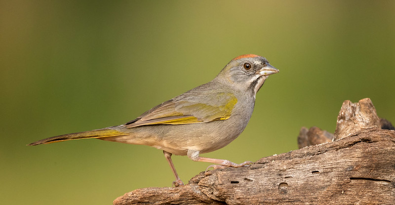 Green-tailed Towhee, Laguna Seca Ranch, Edinburg, TX