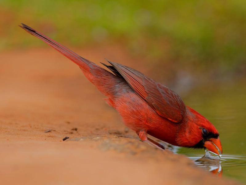 Northern Cardinal, Laguna Seca, Edinburg, TX