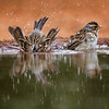 Clay-colored Sparrows, Santa Clara Ranch,  McCook, TX