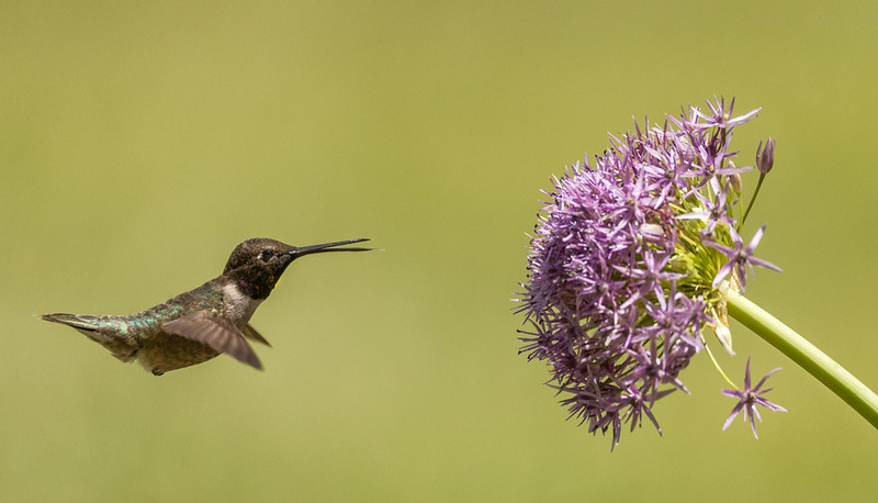 Black-chinned Hummingbird, Block Creek Natural Area, Hill Country, TX