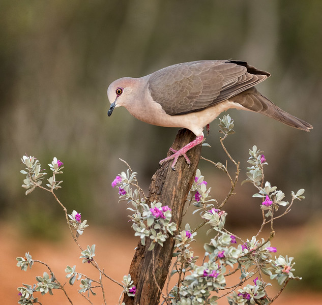 White-tipped Dove, Santa Clara Ranch,  McCook, TX