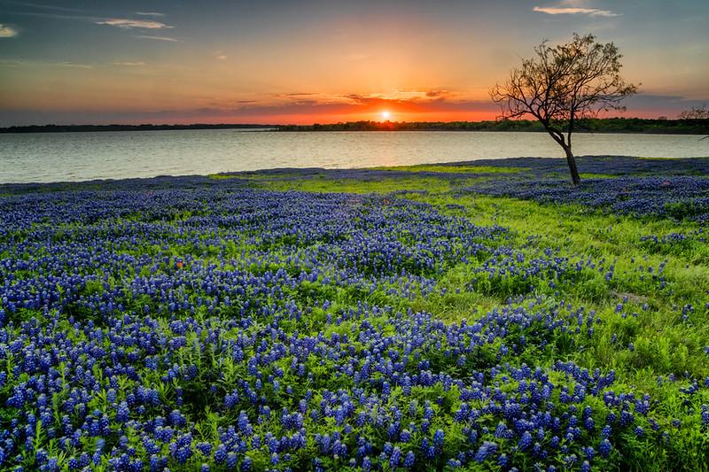 Bluebonnets, Ennis, TX