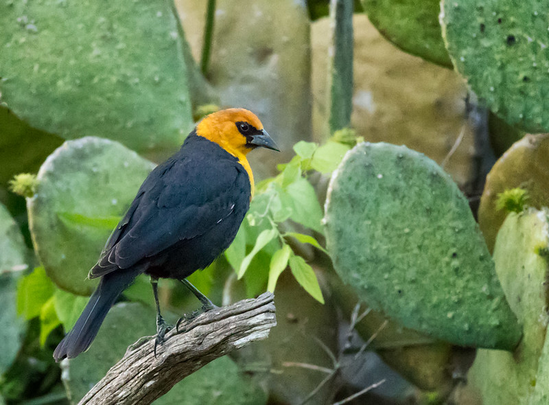Yellow-headed Blackbird, Block Creek Natural Area, Hill Country, TX
