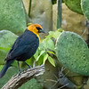 Yellow-headed Blackbird, Block Creek Natural Area, Hill Country, TX