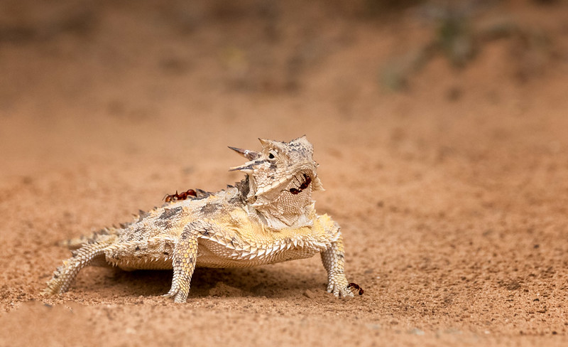 Texas Horned Lizard, Santa Clara Ranch, McCook, TX