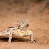 Texas Horned Lizard, Santa Clara Ranch, McCook, TX