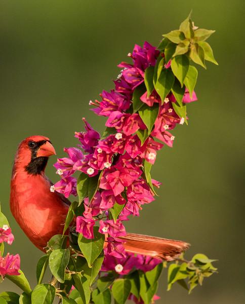 Northern Cardinal, Santa Clara Ranch,  McCook, TX