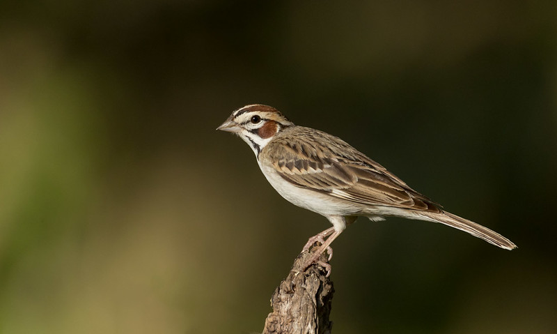 Lark Sparrow, Block Creek Natural Area, Hill Country, TX