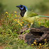 Green Jay, Laguna Seca Ranch, Edinburg, TX