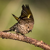 Pine Siskin, Block Creek Natural Area, Hill Country, TX