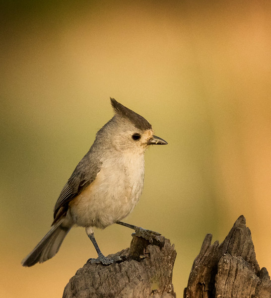 Black-crested Titmouse, Block Creek Natural Area, Hill Country, TX