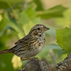 Lincoln's Sparrow, Block Creek Natural Area, Hill Country, TX