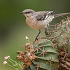 Northern Mockingbird, Santa Clara Ranch,  McCook, TX