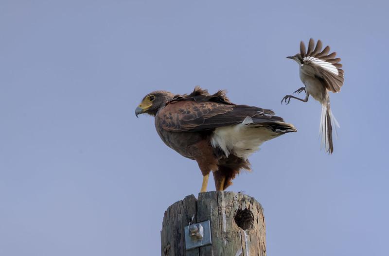 Harris's Hawk mobbed by Mockingbird, Santa Clara Ranch
