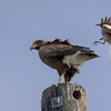 Harris's Hawk mobbed by Mockingbird, Santa Clara Ranch