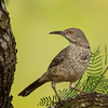 Curve-billed Thrasher, Laguna Seca Ranch, Edinburg, TX