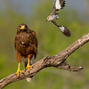 Harris's Hawk mobbed by Mockingbird, Santa Clara Ranch, McCook, TX