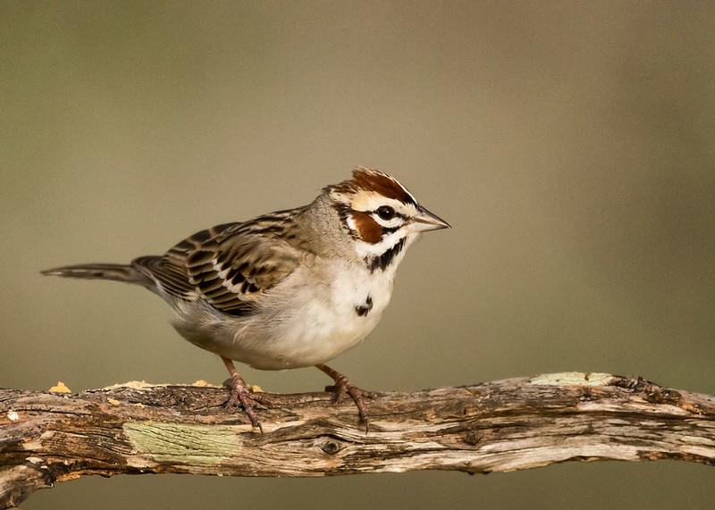 Lark Sparrow, Block Creek Natural Area, Hill Country, TX