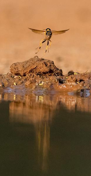 Mud Dauber, Santa Clara Ranch,  McCook, TX