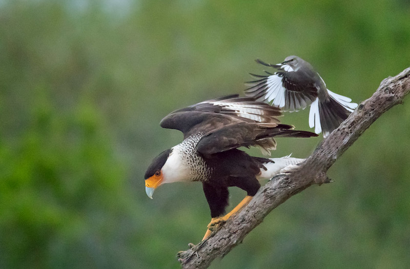 Crested Caracara mobbed by Mockingbird, Santa Clara Ranch, McCook, TX