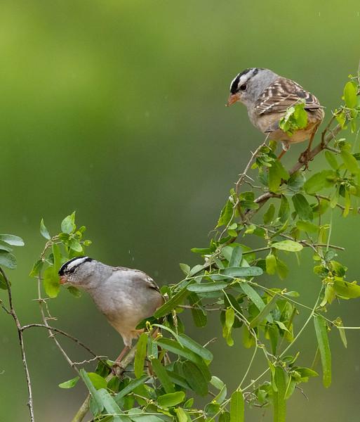 White-crowned Sparrows, Laguna Seca, Edinburg, TX