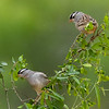 White-crowned Sparrows, Laguna Seca, Edinburg, TX