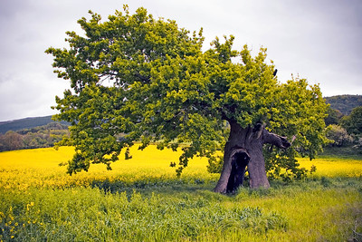 Little Hollow Tree in Lower Machen, South Wales