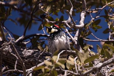 Gila Woodpecker, Kitt Peak Arizona