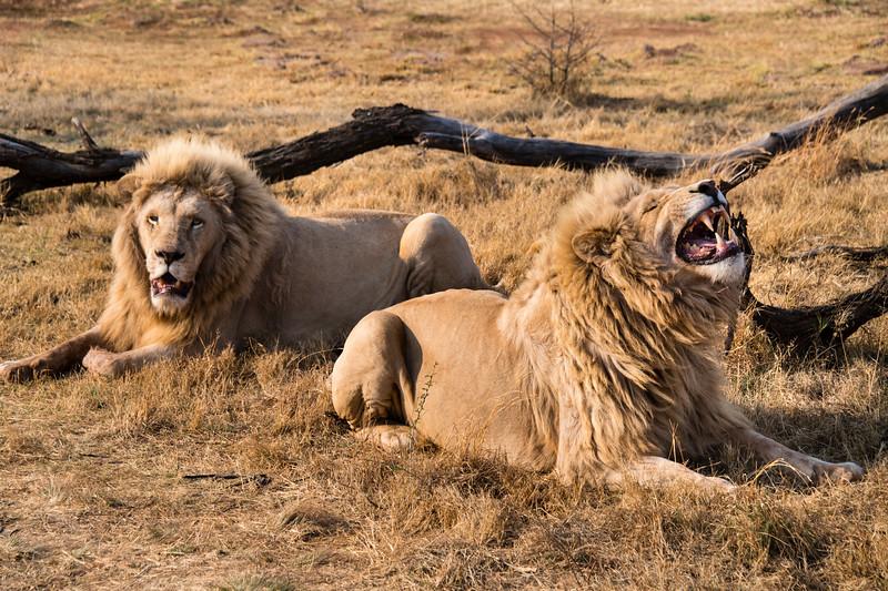 south africa, broederstroom, animals, mammals, predators, lions