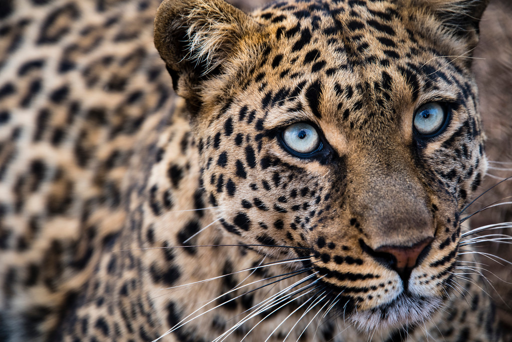 south africa, broederstroom, animals, mammals, predators, leopards