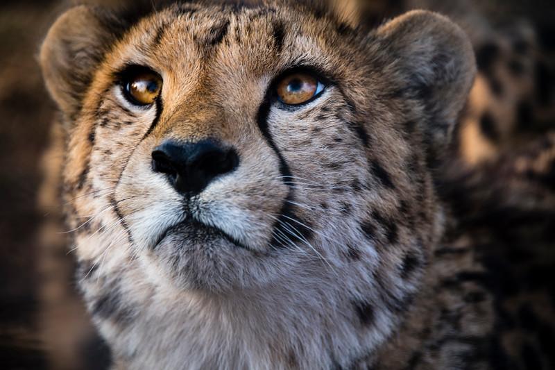 south africa, broederstroom, animals, mammals, predators, cheetahs