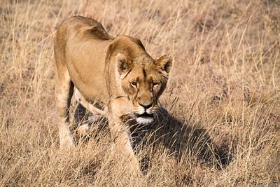 south africa, broederstroom, animals, mammals, predators, lions