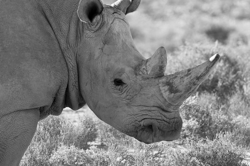 south africa, kruger national park, animals, mammals, ungulates, rhinoceros