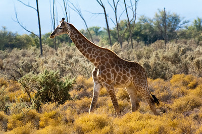 south africa, kruger national park, animals, mammals, ungulates, giraffes